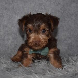 Yorkie puppy adoptions in NY