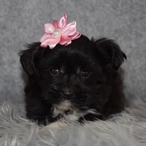 Morkie puppies for sale in de