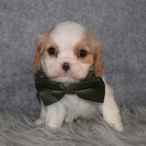 Cavalier puppies for Sale in RI