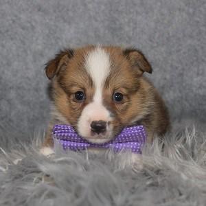 Corgi puppies for sale in CT