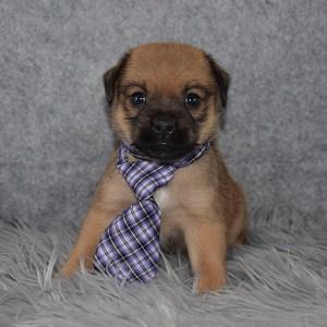 jug puppies for sale in VA