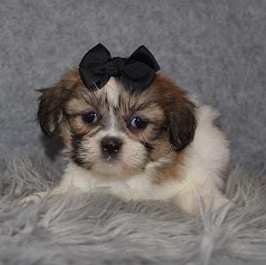 Shichon puppies for sale in DE