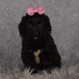 poodle mixed puppies for sale in PA