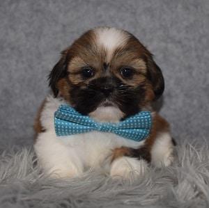 Shih Tzu Puppy Adoptions in MD