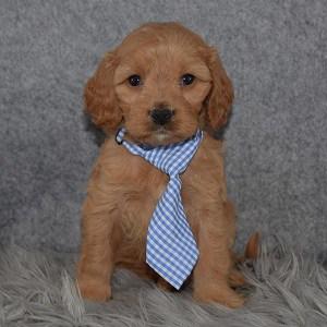 Cavapoo puppies for sale in NJ