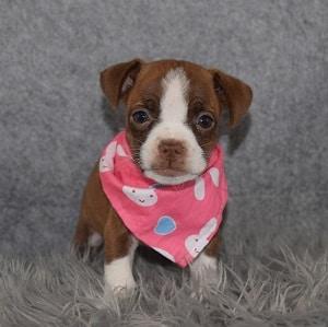 Bojack puppies for sale in VA