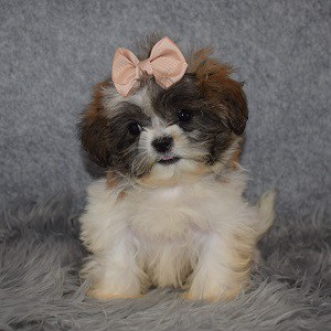 Shichon puppies for sale in MD