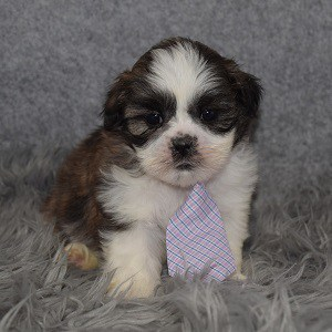 Shichon puppies for sale in NY