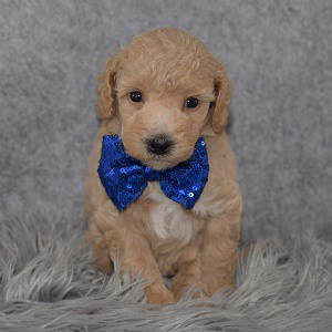 Bichonpoo puppies for sale in ME