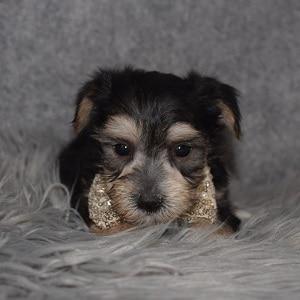 morkie puppy adoptions in NJ
